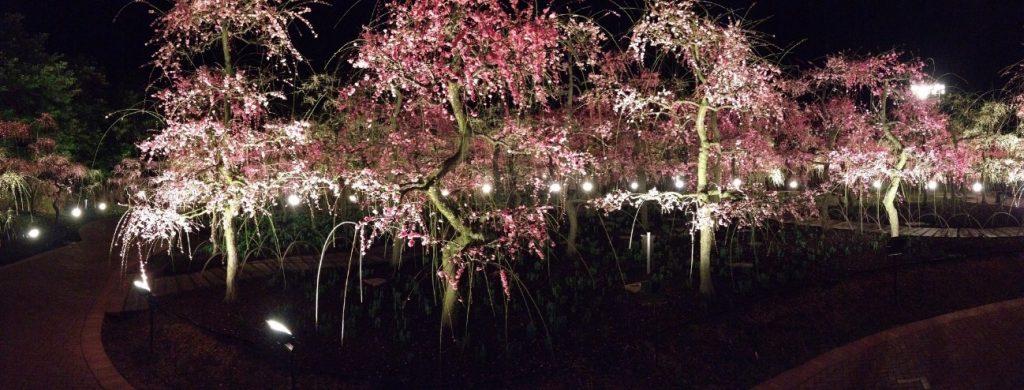 Nighttime plum blossom at Nabana no sato,Kuwana