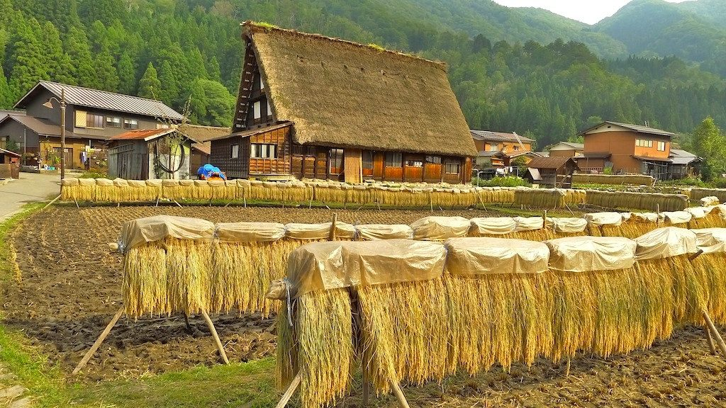 Golden Rice Harvest Shirakawago