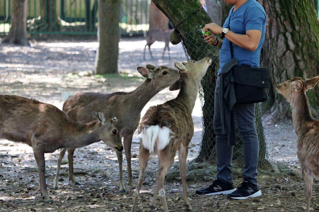 人々に食べ物をねだる鹿、お目当ては「シカせんべい」。