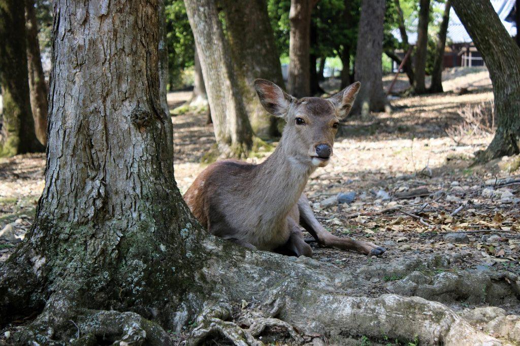 大社の森の鹿たち