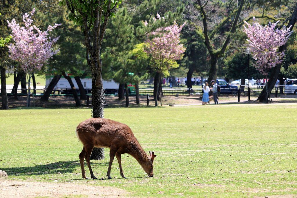 奈良公園の鹿とサクラの2ショット