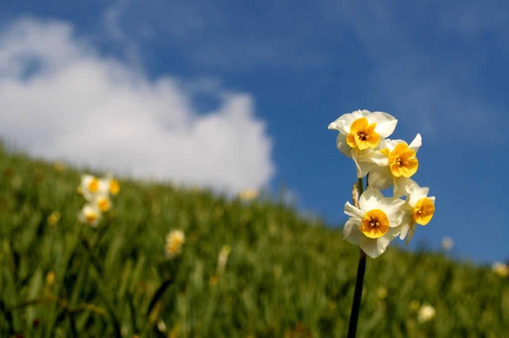 Awaji Daffodils 灘黒岩水仙郷 (1)