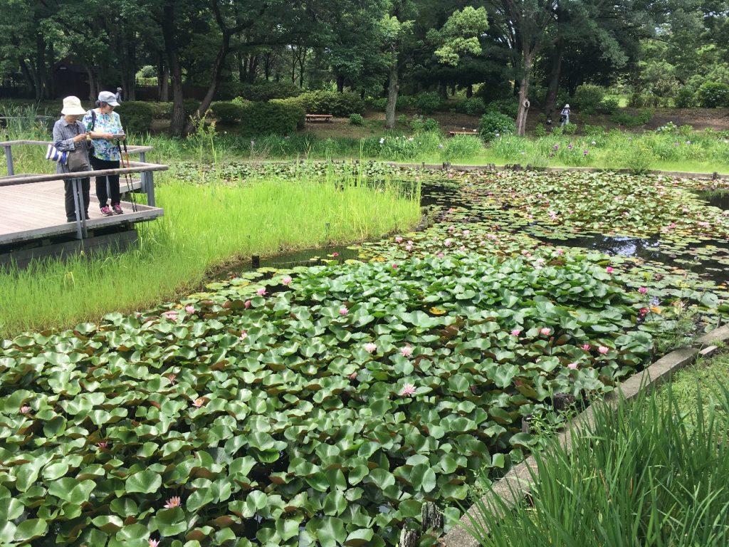 Lotus&water lily lotus