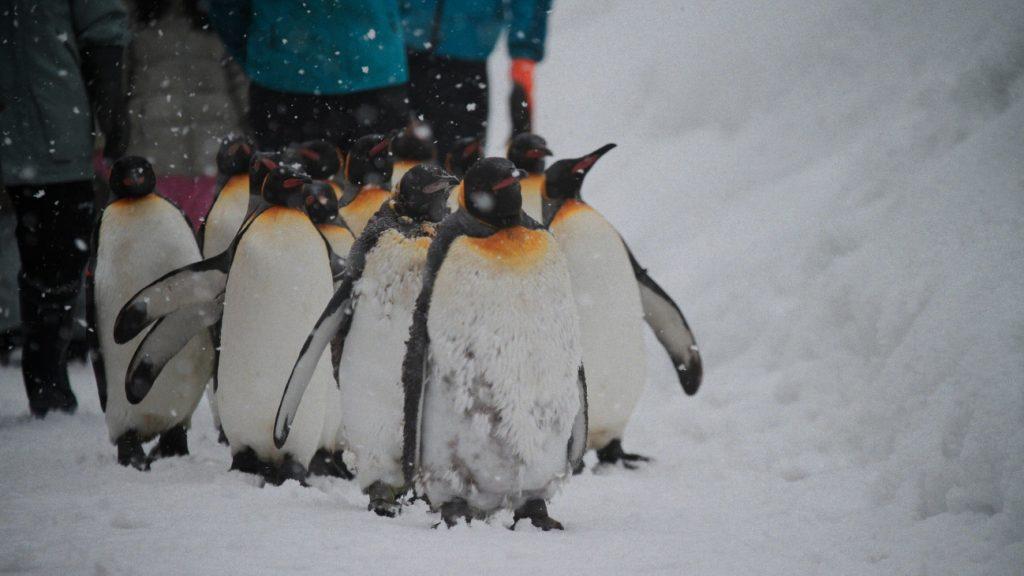 """雪の上を歩く""""ペンギンの行進"""""""