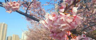 汐入公園のお花見情報と桜の豆知識!